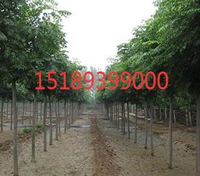 北京栾树价格