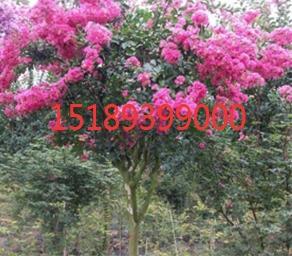 河南紫薇供应商